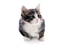 Gray fluffy kitten Stock Photo