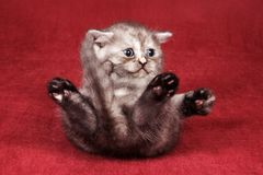 Gray fluffy kitten plays Royalty Free Stock Photo