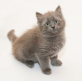 Gray fluffy kitten sitting looking up Royalty Free Stock Photography