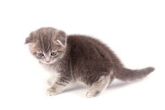 Gray fluffy kitten  Royalty Free Stock Photography