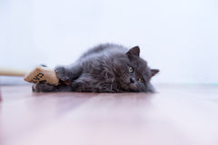 Gray fluffy playful cat Stock Photography