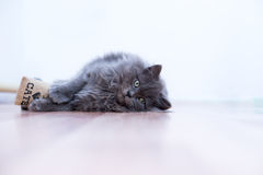 Gray fluffy playful cat Royalty Free Stock Images