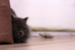 Gray fluffy playful cat Royalty Free Stock Photography