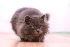 Gray fluffy playful cat. Excited gray fluffy cat playing Royalty Free Stock Photos