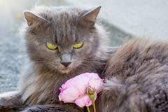 Gray, fluffy with green eyes carries small kitten in her royalty free stock photo