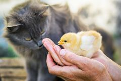 A gray, fluffy looks at little defenseless chick in her h royalty free stock photography