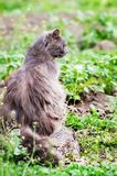 Gray, fluffy pussy sits on  stump in grass and looks gaze forwar. D Royalty Free Stock Photography