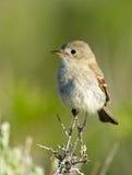 Gray Flycatcher, Oregon, Stati Uniti immagine stock libera da diritti