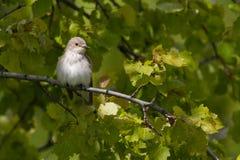 Gray flycatcher Stock Photo