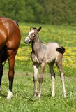 Gray foal Stock Images