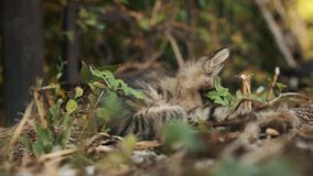 Gray forest wild kitten playing in bright sun under a tree close-up.  stock footage