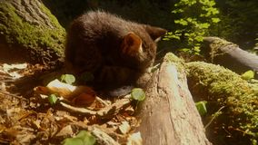 Gray forest wild kitten playing in bright sun under a tree. Video portrait. gray forest wild kitten in the bright sun under a tree and a stone, close-up, a small stock footage