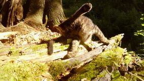 Gray forest wild kitten playing with a tail in bright sun. Gray forest wild kitten playing in bright sun under a tree close-up stock video