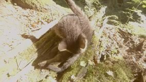 Gray forest wild kitten plays in the bright sun under a tree and a stone. Close-up, a small cat stock footage