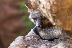 Gray Fox i den Arizona öknen Royaltyfri Bild