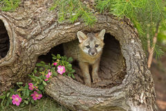 Gray fox kit in log Royalty Free Stock Images