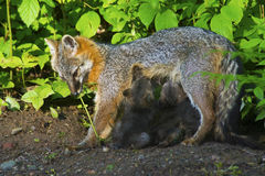 Gray Fox mother with babies in morning light. Stock Image