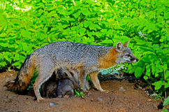 Gray Fox mother with her babies. Stock Photography