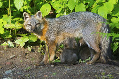 Gray Fox mother with her babies. Royalty Free Stock Photos