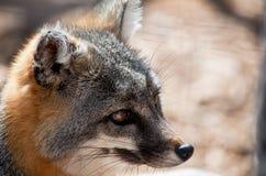 Gray Fox Stock Image