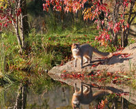 Gray fox with reflection Royalty Free Stock Image