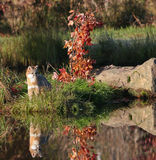 Gray fox with reflection Royalty Free Stock Photo