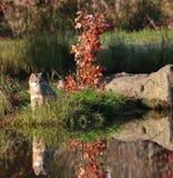 Gray fox with reflection royalty free stock photo