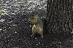 Gray Fox Squirrel com guardar uma porca Imagem de Stock Royalty Free