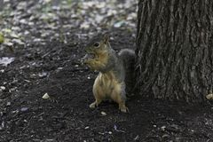 Gray Fox Squirrel with Holding a Nut Royalty Free Stock Image