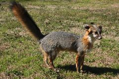 Gray Fox Taxidermy Stock Images