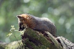 Gray Fox on a tree Stock Photos