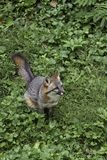 Gray Fox. (Urocyon cineargenteus) is a carnivorous mammal usually found between southern Canada and the northern part of South America Stock Photos