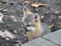 Gray Fox Urocyon cinereoargenteus Arkivbild