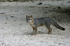 Gray fox, Urocyon cinereoargenteus Stock Images