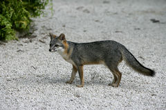 Gray fox, Urocyon cinereoargenteus Royalty Free Stock Images