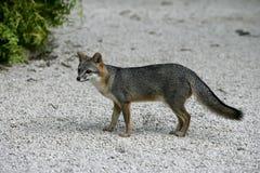 Gray fox, Urocyon cinereoargenteus Royalty Free Stock Images