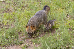 Gray Fox Vixen and Baby Stock Image