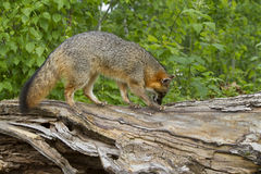 Gray Fox Vixen and Baby Royalty Free Stock Images