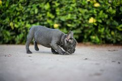 Gray French Bull Dog imagem de stock royalty free