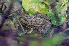 Gray frog Stock Image