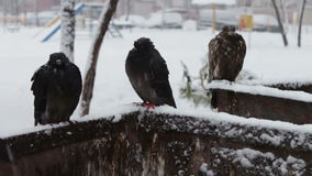 Gray frozen pigeons sitting on a snowy trash box. Many pigeons sitting on a snowy trash box on them fall white fluffy snow.Dove grey in winter. Pigeons in flakes stock video footage