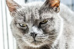 Gray Fur Coated Cat Stock Photography
