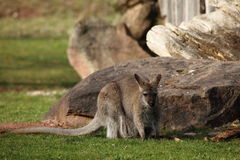 Gray Gaint Kangaroo Stock Images