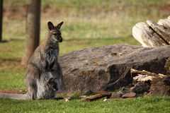 Gray Gaint Kangaroo Stock Image