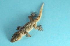 Gray Gecko Lizard stock afbeeldingen