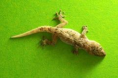 Gray Gecko Lizard royalty-vrije stock fotografie