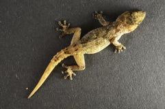 Gray Gecko Lizard photographie stock libre de droits