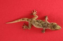 Gray Gecko Lizard images libres de droits