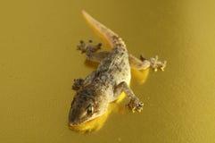 Gray Gecko Lizard immagini stock libere da diritti