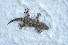 gray gecko lizard royalty free stock photography